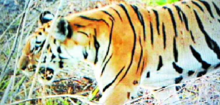 Tiger Kishan Missing