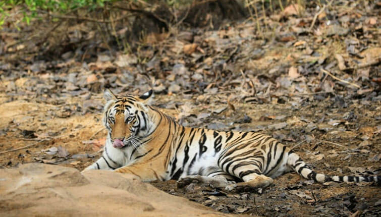 Tigress Sundari of Bandhavgarh National Park