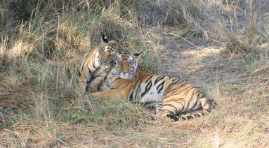 Bandhavgarh Tiger