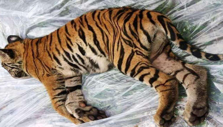 tiger cub of T-5 died at Bandhavgarh park