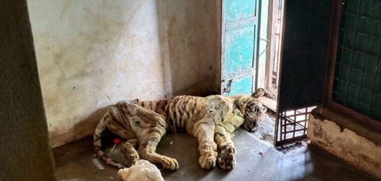 tigress-23-dead