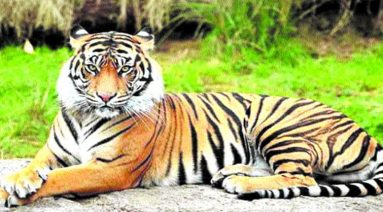 Tigress Radha
