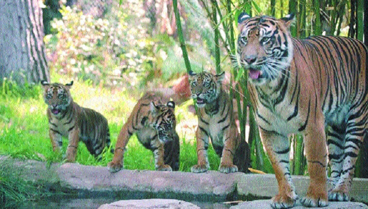 Tigress Radha with her cubs