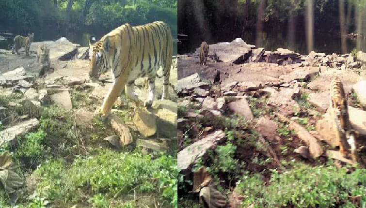 Tigress radha cubs
