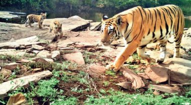 Tigress radha with cubs