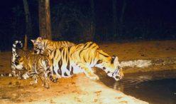 Bandhavgarh Tiger Reserve Receives 6 Tiger Cubs & 3 Leopard Cubs