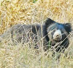 bear at bandhavgarh