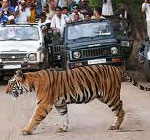 call of wild bandhavgarh