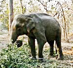 corbett national park elephant