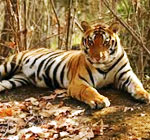 hkanha national park tiger
