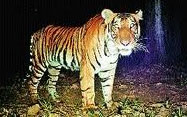 tiger search in centralindia