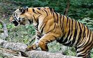 wildlife tour bandhavgarh